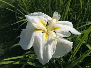 Photo sur cadre textile Fleur de lis Close-up Of White Iris Blooming Outdoors
