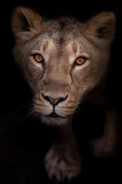 Lioness looks passionately and eagerly, portrait  black background.