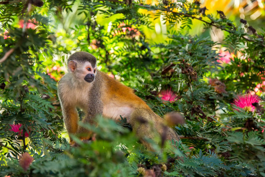 Closeup of Wild Curious Squirrel Monkey (Saimiri Oerstedii) on the Branch of a Shrub with Pink Flowers in Manuel Antonio National Park in Costa Rica on a Sunny Day. A Cute, Exotic Rainforest Primate