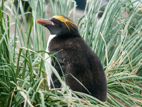 Nesting Macaroni Penguin in tussock grass, South Georgia