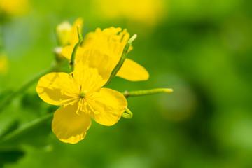 Wall Mural - Yellow celandine flowers bloomed