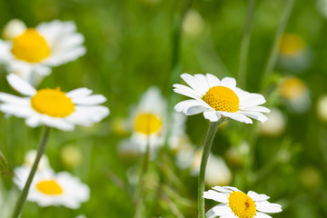 Wall Mural - White camomiles daisy flowers