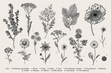 Vintage vector botanical illustration. Set. Autumn flowers, berry and leaves. Black and white