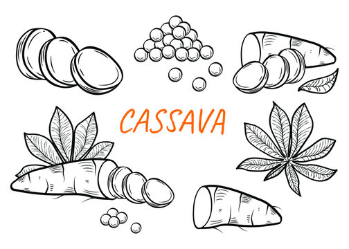 Manihot esculenta: cassava root, tuber, pearl, manihot slice and leaves. Vector engraving drawn illustration. Vegetable for flour, balls, ingredient for bubble tea. Vegetarian food.