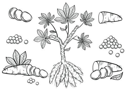 Biological drawing engraving. Cassava isolated on a white background. Manioc, yuca, macaxeira, mandioca, kappa kizhangu, aipim. Fresh root, balls tapioca. Vegetable. Ingredient for bubble tea.