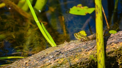 frog in the pond Wall mural