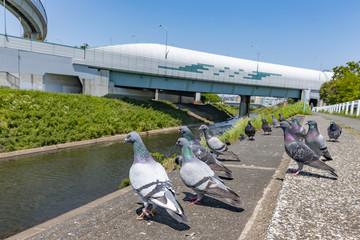 川沿いの土手に集まる鳩