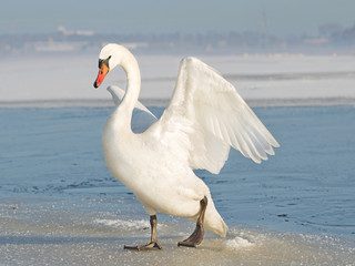 white swan spreading the wings, on ice in winter