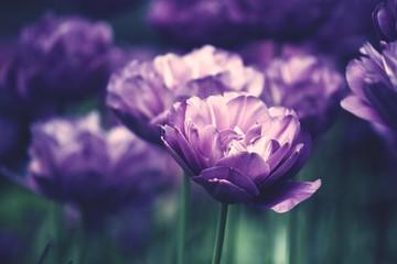 Fototapeta Close-up Of Purple Flowers obraz