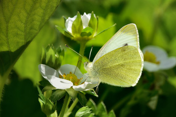 Small White or Cabbage Butterfly (Pieris rapae) on strawberry flower