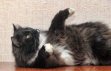 black with white breasts and paws cross-eyed cat