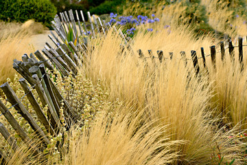 Tall gold grasses with an old fence made of wooden slats