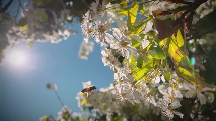 Wall Mural - Bee pollinating spring tree white flowers blooming blossoms. 4K UHD.