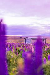 Foto auf AluDibond Violett Purple Flowers On Landscape Against Sky
