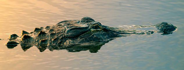 Foto op Aluminium Krokodil Alligator in the wetlands