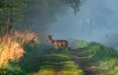 Papiers peints Roe deer
