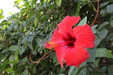 Obraz hibiskus, kwiat, czerwony kwiat,  - fototapety do salonu