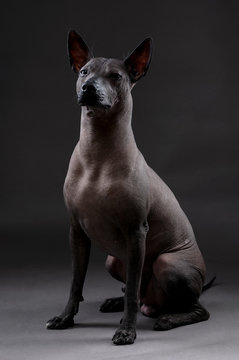 Xoloitzcuintle (Mexican Hairless Dog)  portrait sitting on neutral dark gray background looking at camera