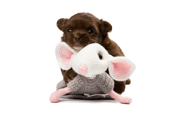 Cute Chihuahua puppy on a white background. Photo in a Studio with isolation