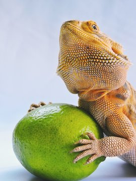 Close-up Of Bearded Dragon With Lemon Against White Background