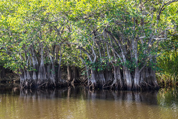 Mangrove forest in the Everglades Park in Florida, USA