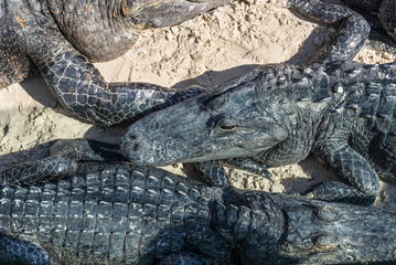Close up view of American Alligators that lie on the sand in the Everglades Holiday Park, Florida, USA