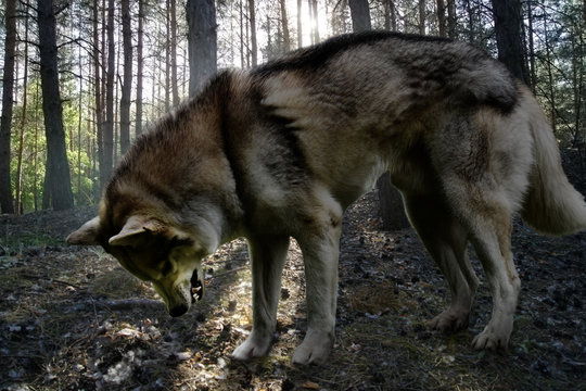 angry wolf in summer coniferous forest