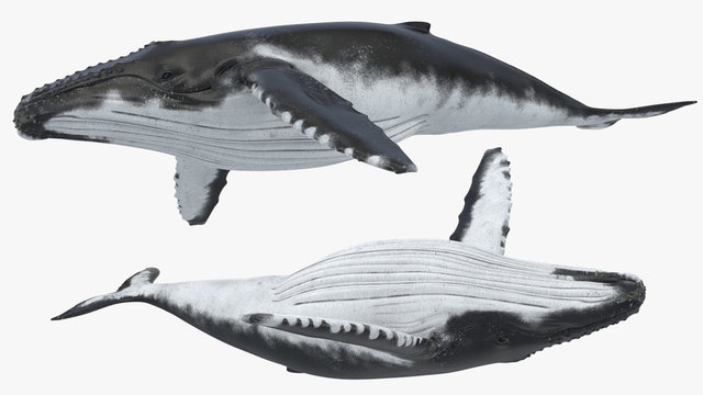 3D Render of Humpback Whale, Humpback whale on an isolated, 3r rendering