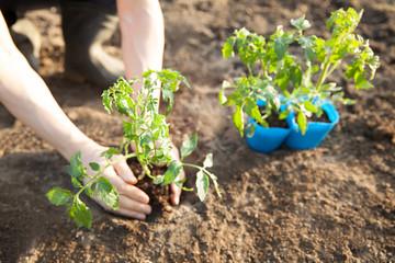 トマトの苗を植える Fototapete