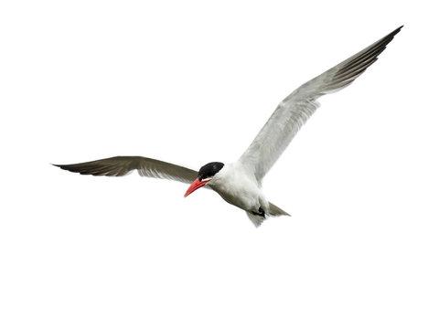 Caspian tern (Hydroprogne caspia) in its natural enviroment