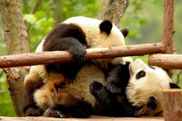 Zelfklevend Fotobehang Panda giant panda bear playing