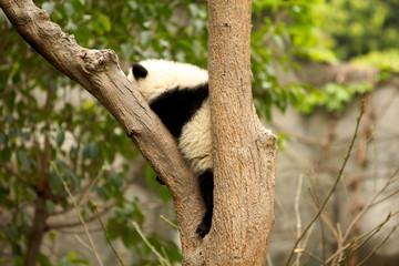 Zelfklevend Fotobehang Panda giant panda in tree