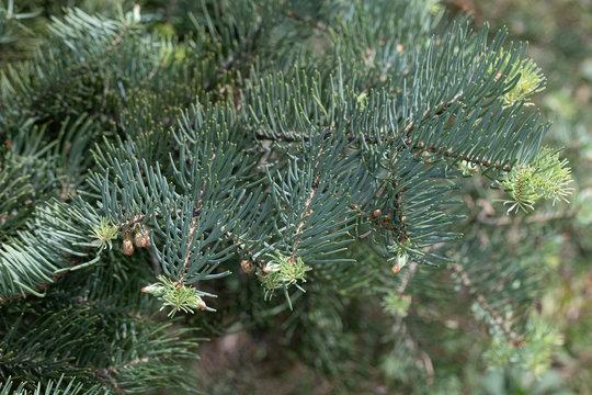 Colorado white fir branch,Latin name (Abies concolor)