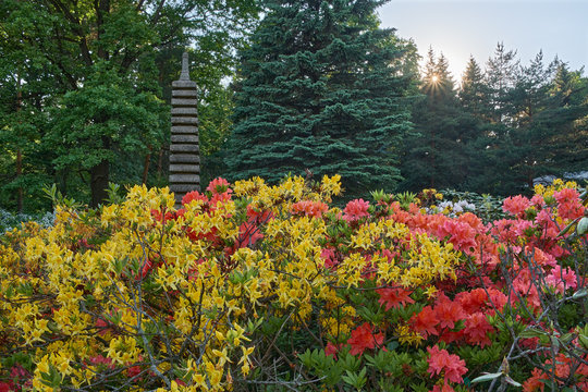 Blooming Rhododendrons in the Japanese Garden at Sunset