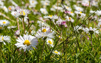 white daisies in a field - shallow depth of field