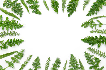 Fototapeta Frame of green plants isolated on a white background. Mockup beautiful Botanical background for postcards, banners, space for text, top view