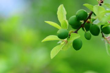 Green Blackthorn fruits