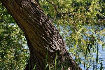 Knorriger Baum an einem See
