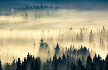 glowing fog in the valley at sunrise. mysterious nature phenomenon above the coniferous forest. spruce trees in mist. beautiful nature scenery