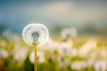 field of dandelion in morning light. beautiful nature scenery with fluffy flowers on the meadow in spring. picturesque countryside environment with distant mountains in fog