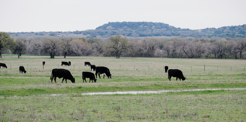 Wall Mural - Black Angus herd of cows grazing in a rural Texas field.