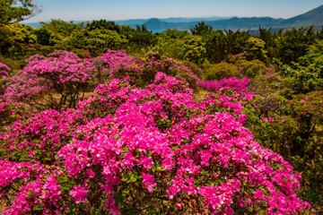 Spoed Foto op Canvas Roze 経塚山のミヤマキリシマ