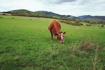 Wall Murals Cow Cow Grazing On Field Against Cloudy Sky