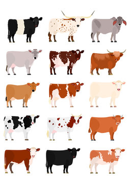cow breeds chart