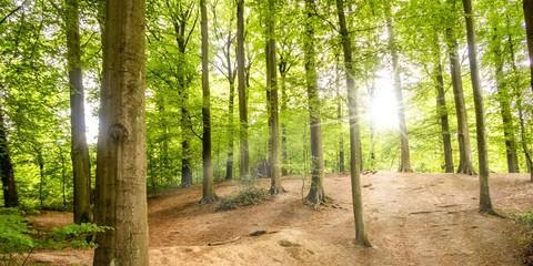 Sonne als Gegenlicht in Buchenwald im Frühling