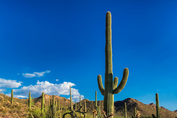 Giant Saguaros at sunset in Sonoran Desert near Phoenix, Arizona.