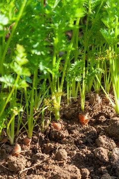 Au potager - rang de carotte bio