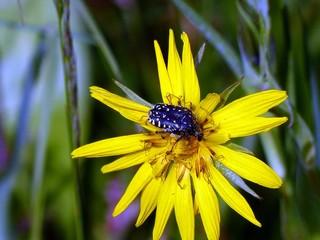 Oxythyrea funesta on CALENDULA OFFICINALIS flower, is a phytophagous beetle species belonging to the family Cetoniida.