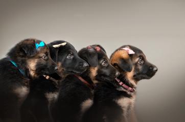German shepherd puppies profile photo four babies beautiful portrait on a light background
