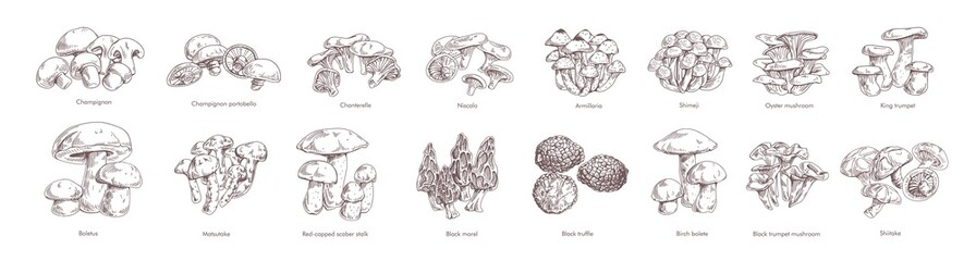 Fototapeta Collection of different realistic edible mushrooms in monochrome style. Set of various engraved seasonal fungi vector graphic illustration. Types of vegetarian organic food obraz